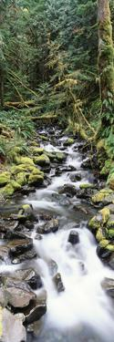 Stream in Rainforest, Olympic National Park, Washington State, USA by Paul Souders
