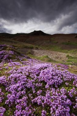 Summer Wildflowers in Iceland by Paul Souders