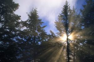 Sunlight Through Evergreen Forest by Paul Souders
