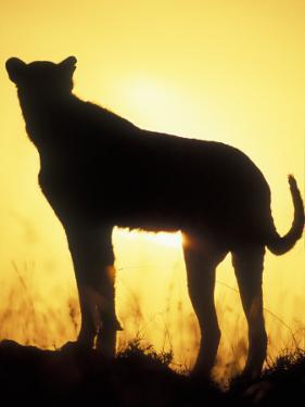 Sunrise Silhouettes Cheetah, Masai Mara Game Reserve, Kenya by Paul Souders