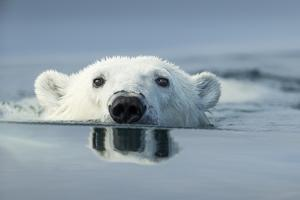Swimming Polar Bear, Hudson Bay, Nunavut, Canada by Paul Souders