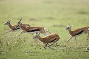 Thomson's Gazelles Running from Stalking Cheetah by Paul Souders