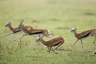 Thomson's Gazelles Running from Stalking Cheetah by Paul Souders