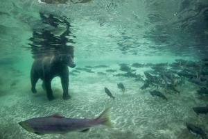 Underwater Brown Bear, Katmai National Park, Alaska by Paul Souders