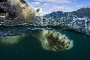 Underwater Polar Bear, Hudson Bay, Nunavut, Canada by Paul Souders