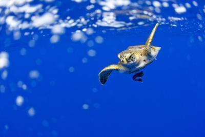 Underwater View of Green Sea Turtle in Hawaii