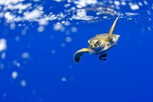 Underwater View of Green Sea Turtle in Hawaii by Paul Souders