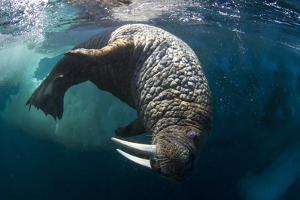 Underwater View of Walrus, Hudson Bay, Nunavut, Canada by Paul Souders