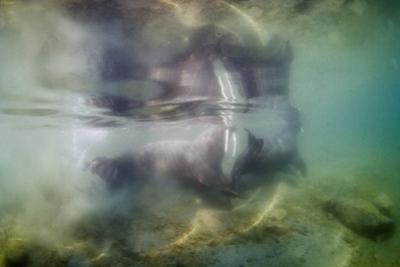 Underwater Walrus and Calf in Hudson Bay, Nunavut, Canada