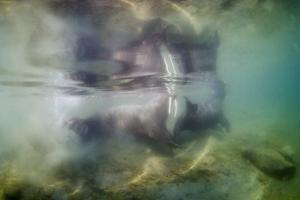 Underwater Walrus and Calf in Hudson Bay, Nunavut, Canada by Paul Souders