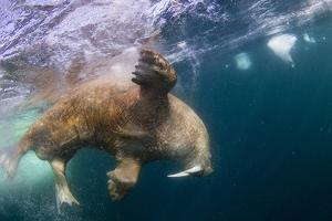 Underwater Walrus, Hudson Bay, Nunavut, Canada by Paul Souders