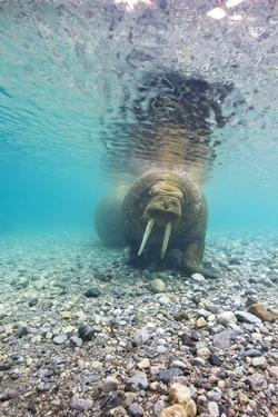 Underwater Walrus, Svalbard, Norway by Paul Souders