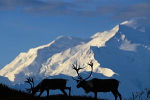 USA, Alaska, Denali National Park, Bull Caribou and Mt. McKinley by Paul Souders
