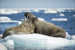 Walrus and Calf Resting on Ice in Hudson Bay, Nunavut, Canada by Paul Souders