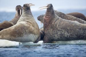Walrus Herd, Hudson Bay, Nunavut, Canada by Paul Souders