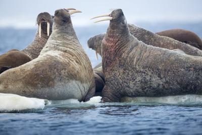 Walrus Herd, Hudson Bay, Nunavut, Canada