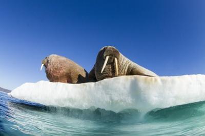 Walrus Herd on Ice, Hudson Bay, Nunavut, Canada