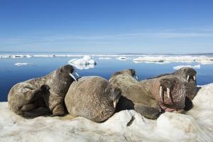 Walrus Herd on Iceberg, Hudson Bay, Nunavut, Canada by Paul Souders