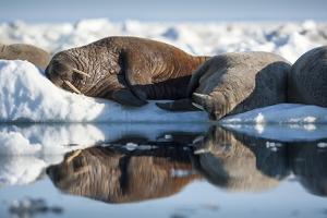 Walrus Herd on Sea Ice, Hudson Bay, Nunavut, Canada by Paul Souders