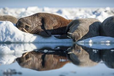 Walrus Herd on Sea Ice, Hudson Bay, Nunavut, Canada