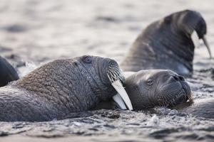 Walrus, Hudson Bay, Nunavut, Canada by Paul Souders