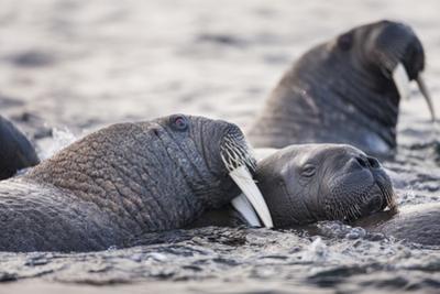 Walrus, Hudson Bay, Nunavut, Canada