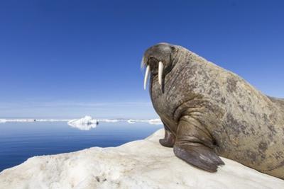 Walrus on Iceberg, Hudson Bay, Nunavut, Canada