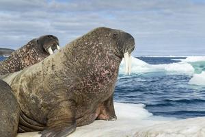 Walrus Resting on Ice in Hudson Bay, Nunavut, Canada by Paul Souders