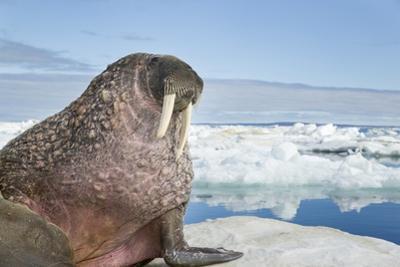 Walrus Resting on Ice in Hudson Bay, Nunavut, Canada