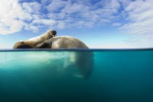 Walrus, Svalbard, Norway by Paul Souders