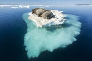 Walruses on Iceberg, Hudson Bay, Nunavut, Canada by Paul Souders
