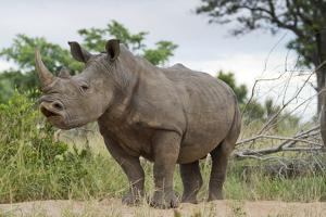 White Rhino, Sabi Sabi Reserve, South Africa by Paul Souders
