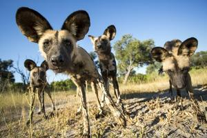 Wild Dogs, Moremi Game Reserve, Botswana by Paul Souders