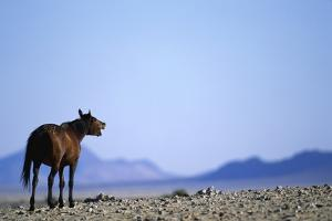 Wild Horse Calling in Namib-Naukluft Park by Paul Souders