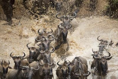 Wildebeest Migration, Masai Mara Game Reserve, Kenya by Paul Souders