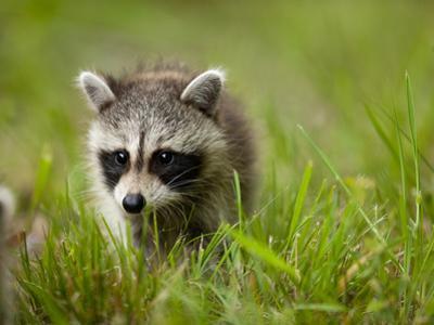 Young Raccoon Walking in Grass, Summer Evening, Assateague Island National Seashore, Maryland, Usa