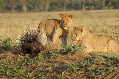 Youngs Lion Stalking Porcupine by Paul Souders