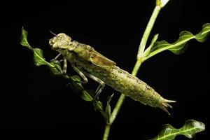 Aeschne Sp. - Larva by Paul Starosta