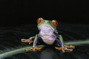Agalychnis Callidryas (Red-Eyed Treefrog) by Paul Starosta
