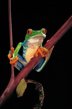 Agalychnis Callidryas (Red-Eyed Treefrog ) by Paul Starosta