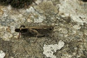 Aiolopus Strepens (Grasshopper) - on Stone by Paul Starosta