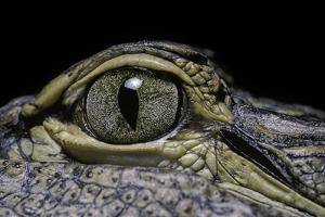 Alligator Mississippiensis (American Alligator) - Eye by Paul Starosta