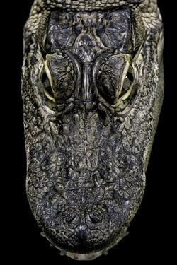 Alligator Mississippiensis (American Alligator) - Snout by Paul Starosta