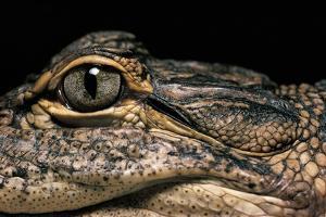 Alligator Mississippiensis (American Alligator) by Paul Starosta