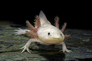 Ambystoma Mexicanum F. Leucistic (Axolotl) by Paul Starosta