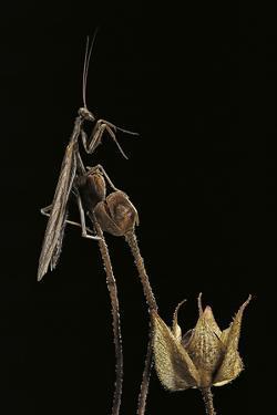 Ameles Decolor (Praying Mantis) by Paul Starosta
