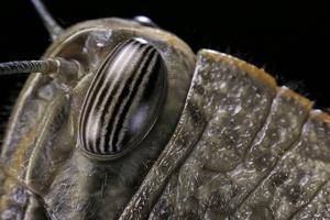 Anacridium Aegyptium (Egyptian Locust) - Eye by Paul Starosta