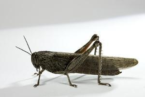 Anacridium Aegyptium (Egyptian Locust) by Paul Starosta