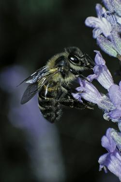 Apis Mellifera (Honey Bee) - Foraging on a Lavender Flower by Paul Starosta