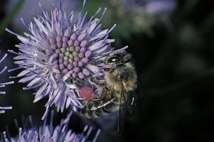 Apis Mellifera (Honey Bee) - Foraging on a Sheep's Bit Flower by Paul Starosta
